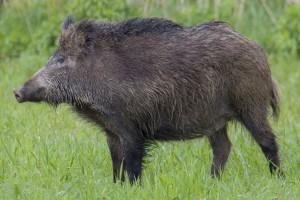 Yaban domuzu Kuşadası şehir merkezinde altı yavru doğurdu