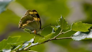 Kelebek gözlemcileri, 'Rose' ve 'Şehzade' için kilometrelerce yol kat edip Van'a geliyor