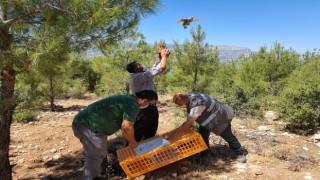 Karaman'da doğaya 850 kınalı keklik salındı