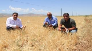 Kuraklıktan dolayı büyümeyen ekinler biçilemiyor
