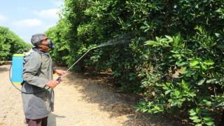 Narenciyenin kabusu 'Akdeniz meyve sineği'ne karşı ilaçlama seferberliği